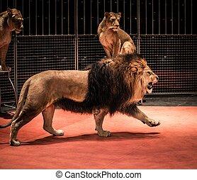 活躍の舞台, 歩くこと, 雌じし, モデル, サーカス, ライオン, 素晴らしい, 吠え声