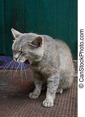 灰色, あくびする, ブラウン, モデル, 家 猫, 境界, ドア