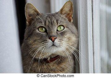 灰色, カーテン, 大きい, 座っている猫, 窓