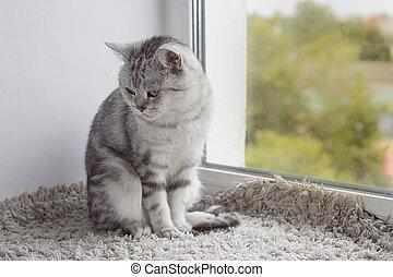 灰色, モデル, トラネコ, イギリス, ねこ, 窓