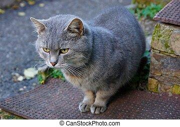灰色, モデル, 家 猫, 通り, ドアステップ