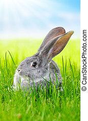 灰色, 草, 緑, うさぎ, フィールド