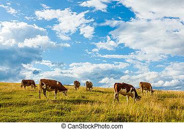 牛, フィールド, 牧草, 群れ