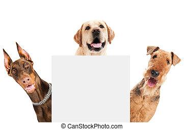 犬, テリア, 隔離された, airedale