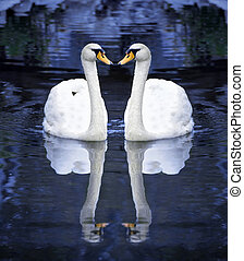 白い白鳥, 2