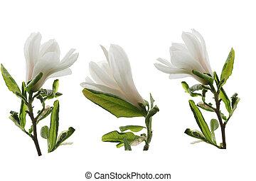 白い花, セット, モクレン
