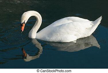 白鳥, 反射