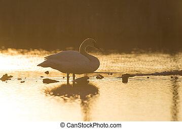 白鳥, 日没, トランペット奏者