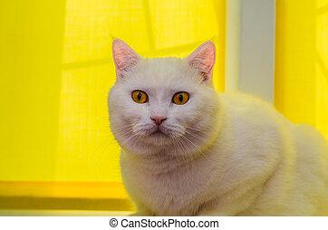 白, 大きい, 座っている猫, ブラインド, 窓, 黄色