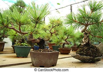 盆栽, 木