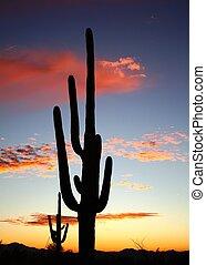 砂漠, チューソン, saguaro