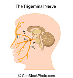 神経, trigeminal