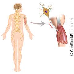 筋肉, ニューロン, eps10, モーター, コントロール