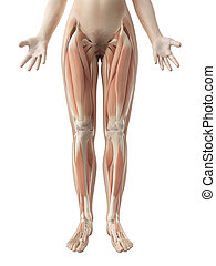 筋肉, 女性, 足
