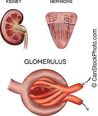 糸球体, 部分, 腎臓, 腎臓, 微粒子