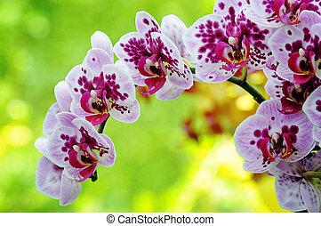 紫色, クローズアップ, 蘭