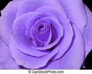紫色, バラ
