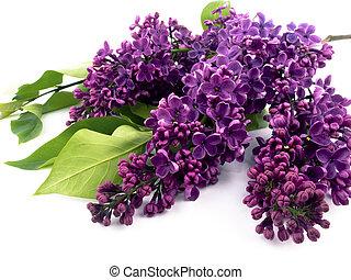 紫色, ライラック