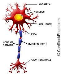 細胞, ニューロン