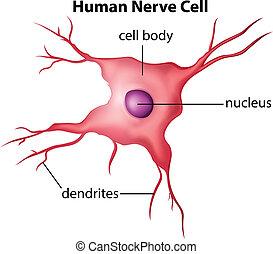 細胞, 神経, 人間