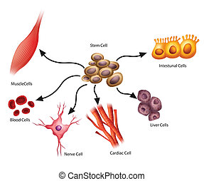 細胞, 茎