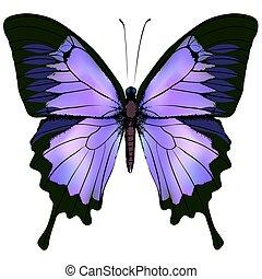 美しい, ピンク, 色, イラスト, 紫色, ベクトル, butterfly.