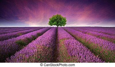 美しい, 夏, 対照, イメージ, 木, ラベンダーのフィールド, 色, 日没, 風景, 地平線, 単一
