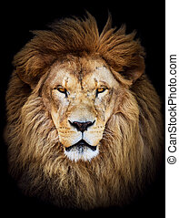 美しい, 巨大, に対して, ライオン, 黒い背景, アフリカ, 肖像画, マレ