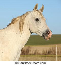 美しい, 秋, 馬, アラビア人, 白