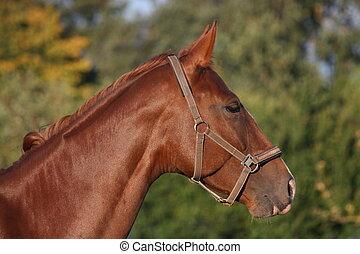 美しい, 茶色の馬, 肖像画, 夏