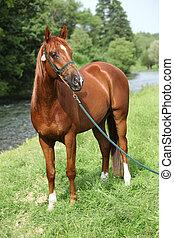 美しい, 馬, ホールター, ショー, アラビア人, すてきである