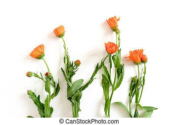 背景, 白い花, レイアウト, calendula