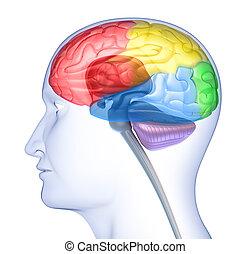 脳, 丸い突出部, シルエット, 頭