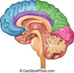 脳, 丸い突出部, 人間