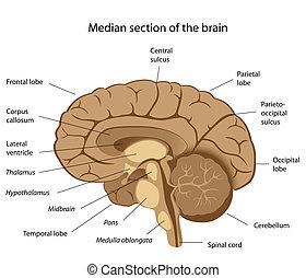 脳, 人間, eps8, 解剖学