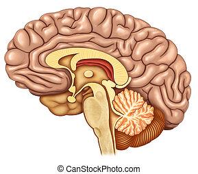 脳, 側面, 切り裂かれる, 光景