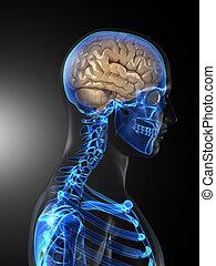 脳, 医学, 人間, 走り読みしなさい