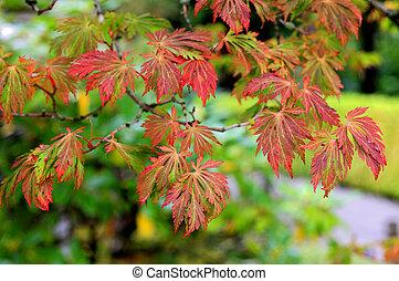 色, 木, 日本 かえで, 秋