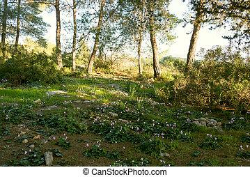 花が咲く, 森林, シクラメン