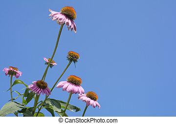 花, いくつか, echinacea