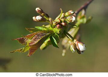 花, さくらんぼ, つぼみ