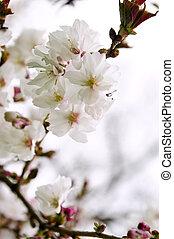花, さくらんぼ, 東洋人