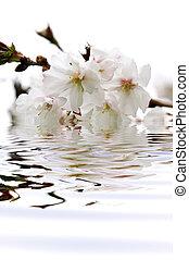 花, さくらんぼ, 水