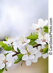 花, さくらんぼ, 白い花