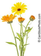 花, 医学, 葉, 隔離された, バックグラウンド。, officinalis., calendula, 白, マリーゴールド, plant.