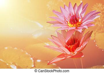 花, 水 ユリ, 背景