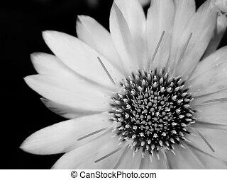 花, 白黒