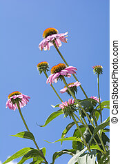 花, echinacea, 縦