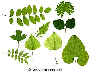 葉, 緑, 隔離された