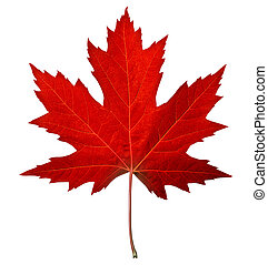葉, 赤いカエデ